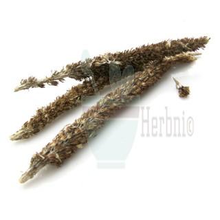 한국산l 바위솔 (와송)