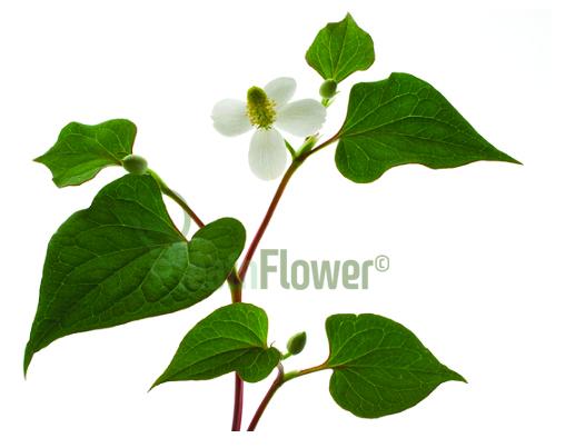 Houttuynia_Cordata_leafnflower